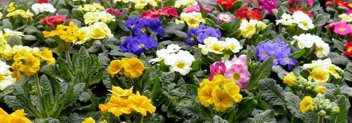 Primula Čtyřlístek zahradní centrum